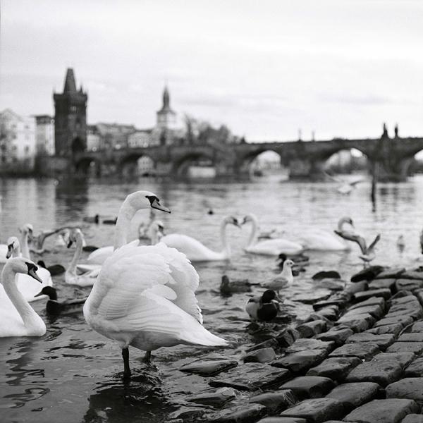 Labutě u Karlova mostu