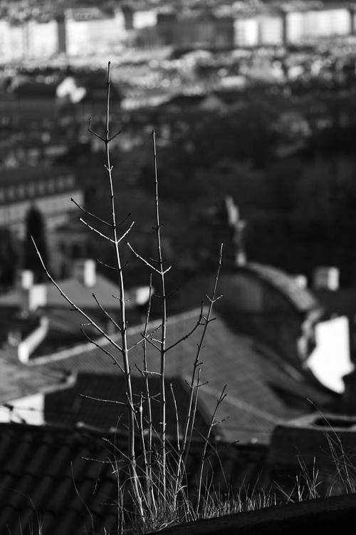 Větvičky na Pražském hradě